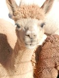 Alpaca Manure - The Perfect Fertilizer!!! in Alamogordo, New Mexico